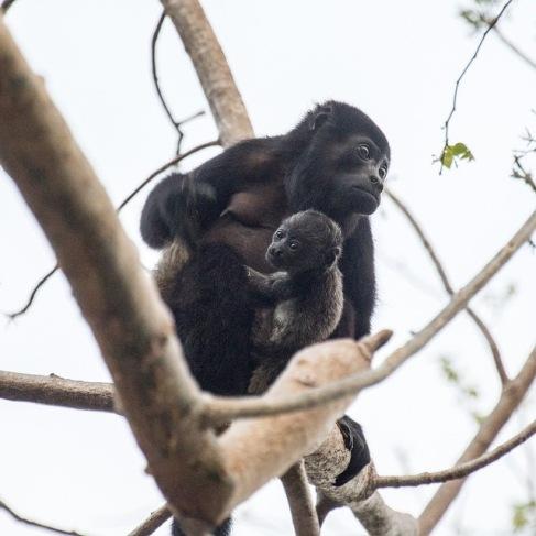Howler monkey with a baby. Photo cred: Jonathan Hokklo