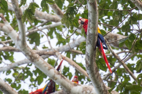 Macaw Parrot Costa Rica Osa Peninsula