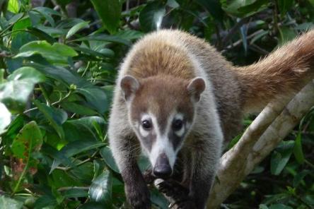 Coati Costa Rica Jungle