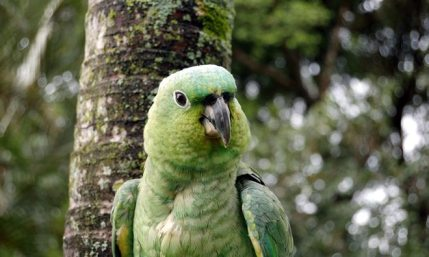 Lora bird Costa Rica