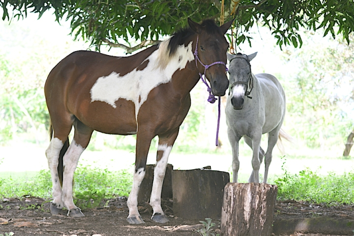 Horse Therapy Costa Rica Osa Peninsula New Year's Eve Yoga Retreat Two Horses